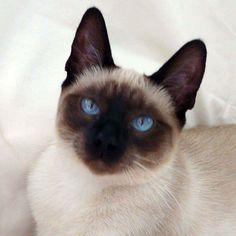 siamese cats - Google Search