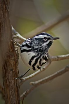 Black-and-white Warbler 1446 by Bill McCormack on 500px
