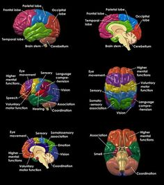 The brain and its function More