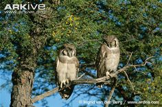 Giant eagle-owls sleeping Giant Eagle, Owl Photos, Beautiful Forest, Wildlife, African, Birds, Owls, Woodpeckers, Rainforests