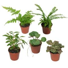 Pixie Plants for terrarium making and mini pots. Assorted packs of 3 or 5 available online or in-store at TERRARIUM