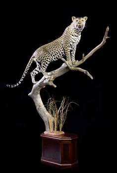 Leopard, lion Taxidermy Mounts | Jonas Brothers Taxidermy