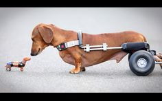Ralph, a six-year-old dachshund, was given a new set of wheels this month after a long and painful battle with intervertebral disc disease. Owners have spent more than £5,500 nursing their beloved pup through surgeries and rehabilitation after he lost all movement and feeling in his hind legs last September. 'He is my baby and you would never give up on your child, so we just did what we had to do,'
