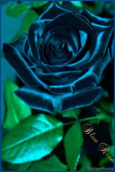 Blue Rose – Famous Last Words Rare Roses, Rare Flowers, Flowers Nature, Exotic Flowers, Beautiful Rose Flowers, Love Rose, Amazing Flowers, Fire And Ice Roses, Black And Red Roses