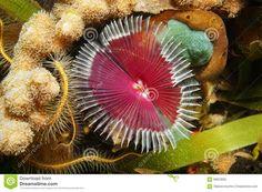 https://thumbs.dreamstime.com/z/gusano-marino-del-oerstedi-de-anamobaea-de-la-vida-marina-66623065.jpg