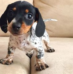 Cute spotted dachshund(?) puppy