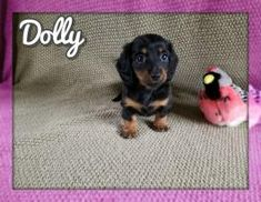 Mini Puppies, Puppies For Sale, Dachshund Breeders, Lancaster Puppies, Miniature Dachshunds, Dogs, Animals, Animales, Animaux