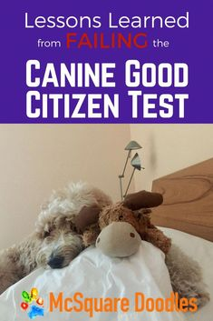 What I Learned from Failing Our Canine Good Citizen Test — McSquare Doodles Dog Training Books, Dog Training Classes, Dog Training Tips, Potty Training, House Breaking Dogs, Good Citizen, Sick Dog, Guide Dog, Aggressive Dog