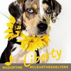 July 23rd is Clear the Shelters day. We're sharing adoptable animals now through the end of the month! Lets clean those shelters out of cuties like these!  This cutie is currently being cared for by Underdog Rescue MN. Her name is Liberty and she's an ALMOST 3 month old Catahoula Leopard Dog. Isn't she a sweetheart?