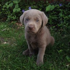 Looks like my dog Oliver when he was a baby Puppies And Kitties, Cute Puppies, Cute Dogs, Big Dogs, I Love Dogs, Silver Labrador Puppies, Dog Pond, Baby Animals, Cute Animals