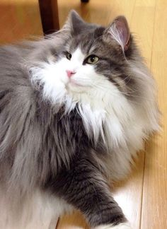 Fluffy cat breeds - My Norwegian Forest cat Boots is a twin to this beauteous vision of lovliness :) Cute Cats And Kittens, I Love Cats, Crazy Cats, Cool Cats, Kittens Cutest, Baby Kittens, Pretty Cats, Beautiful Cats, Animals Beautiful