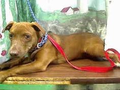 GONE --- #A441396(Moreno Valley, CA) male, chocolate Dachshund mix. The shelter thinks I am about 1 year and 6 months old. I have been at the shelter since Oct 09, 2014 and I may be available for adoption on Oct 17, 2014 at 4:48PM. If you are interested in me, please visit me before this date. ...  City of Moreno Valley Animal Control Services. https://www.facebook.com/135559229932205/photos/a.136024659885662.29277.135559229932205/371475143007278/?type=3&theater