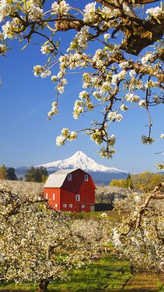 Country Living - spring, flowering trees, barn