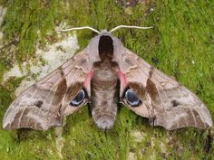 pics of moths | 1980 Eyed Hawk-moth (Smerinthus ocellata)