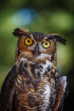 GREAT HORNED OWL - Bubo virginianus virginianus.  .  . N & S America.  .  . Photo: Kristin Castenschiold)