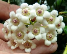 Hoya Rotundifolia