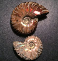Fossilized Ammonite Pair Rainbow and Red by PhenomenalGems on Etsy