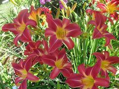 Photo of Daylily (Hemerocallis 'Carmine Monarch') uploaded by Joy