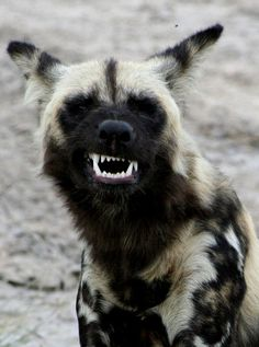 African wild dog, also called Cape hunting dog or painted dog. ITS LIKE A MINI HYENA! Waaaaaaanttttt!!!!