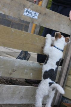 Wire Fox Terrier pup - beware of the dog