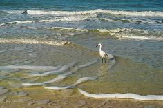 Egret in Surf - Photo by Ken Buckner - Islands Art & Books