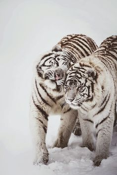 Winter Love - White tigers at Feline Park, France. By [Deadboxrunner]
