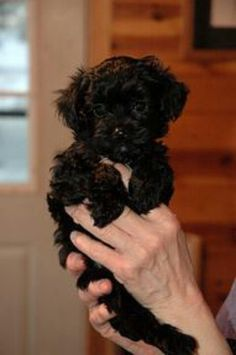 This looks just like our Yorkie! that's his name, lol he's s yorkie poo! Yorkie Poo Puppies, Yorkie Poodle, Puppies And Kitties, Poodle Mix, Tea Cup Poodle, Cute Puppies, Cute Dogs, Doggies, Schnoodle Puppy