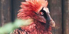 Funny pictures about The magnificent Bearded Vulture. Oh, and cool pics about The magnificent Bearded Vulture. Also, The magnificent Bearded Vulture photos. Pretty Birds, Love Birds, Beautiful Birds, Animals Beautiful, Weird Birds, Animal Species, Tier Fotos, Vulture, Exotic Birds