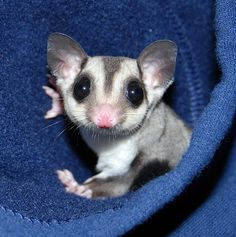 Marsupial in the hood Sugar Glider Cute Baby Animals, Animals And Pets, Funny Animals, Sugar Bears, Pocket Pet, Australian Animals, Tier Fotos, Cute Creatures, Fauna