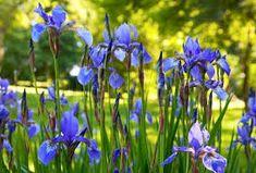 Spring flowers Photos iris flowers in summer sunny city park by YuriyB Iris Flowers, Spring Flowers, Flower Photos, Park City, Nature Photos, Pond, Earth, Amazing, Plants