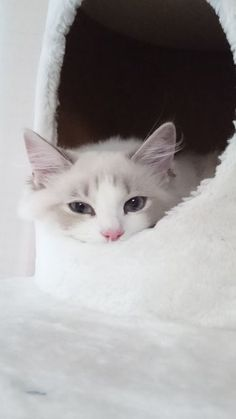 tiny kitten with perfect paws. I'm pretty sure my heart just exploded Kittens Cutest, Cats And Kittens, Cute Cats, Pretty Cats, Beautiful Cats, Crazy Cat Lady, Crazy Cats, Ragdoll Cat Breed, Jellicle Cats