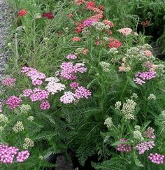 Yarrow 'Oertel's Rose' - needs full sun, great lacy foliage and color scheme, 2' height; will self seed, so will need to pull out seedlings.