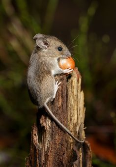 A wood mouse retrieves a hazelnut from a thin tree stump. The wood mice usually carry away the nuts several metres and hide them in different places. I have observed mice place hazelnuts on the…More cute and templates, and pets klub srpski filmovi za. Nature Animals, Animals And Pets, Baby Animals, Funny Animals, Cute Animals, Hamsters, Rodents, Wildlife Photography, Animal Photography