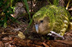 飛べない鳥「カカポ」の不思議な生態がなんか可愛い!