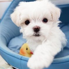 Maltese puppy liking what your eating