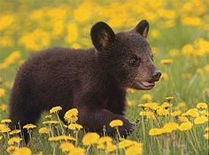 """Black Bear Cub.... second only to dogs on my """"favourite creatures on the planet"""" list!"""