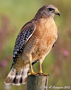 Red Shouldered Hawk - I have seen them grab squirrels and morning doves drawn to bird feeders.