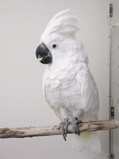 Cockatoo - Umbrella Cockatiel, Parrots, Beautiful Birds, Pet Birds, Scarlet, Paradise, Favorite Things, Feather, Ivory
