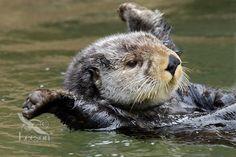 The otter is my favorite Alaskan Animal.
