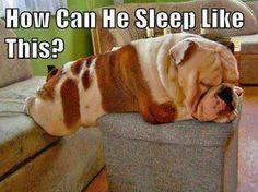 .Bulldog sleeping.