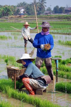 Thai Rice Paddy Workers