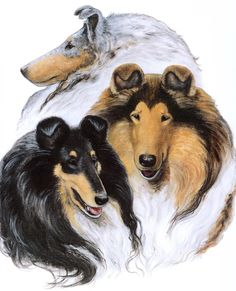 Collie Art featuring blue merle, sable, and tri-colored coat colors