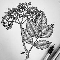 elderberries w. leaves. fun!