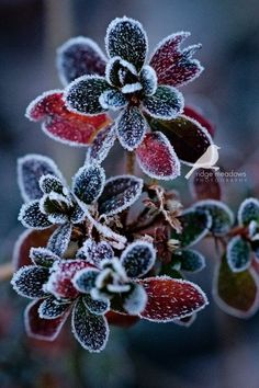 Frost on succulent plant