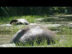 Dos elefantes en libertad remar se alegre en el agua por primera vez.