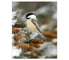 Black-Capped Chickadee Poster at CafePress