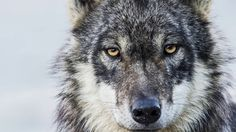 Wolves in British Columbia, Canada are being killed as part of an ill-conceived plan to save endangered caribou. You can help give wolves a voice and protect them from hunters in helicopters. Follow the link to learn more.