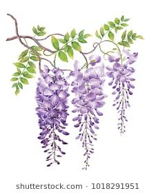Wisteria with watercolor painting.Hand drawn on white background.Clipping path included. Illustration for various tasks such as greeting cards,love card. birthday cards, or different print jobs. Акварельные Цветы, Акварельные Картины, Фруктовое Искусство, Глицинии, Ботанические Иллюстрации, Цветочное Искусство, Художественные Рисунки, Акварельные Техники