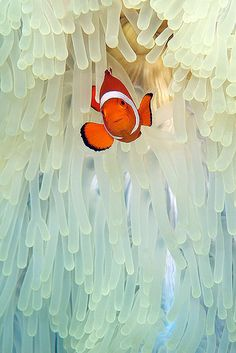theoceaniswonderful:  Elegant Clownfish by steve de neef on Flickr.