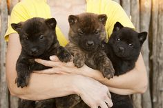 These dogs look like bears with pointy ears. I can't wait to have a Kai Ken!  I love them, they are incredibly cute and exactly what I want in a dog. Loyal to their family, weary of strangers, amazing guard dogs, gentle with children, low maintenance, and incredibly cute (: